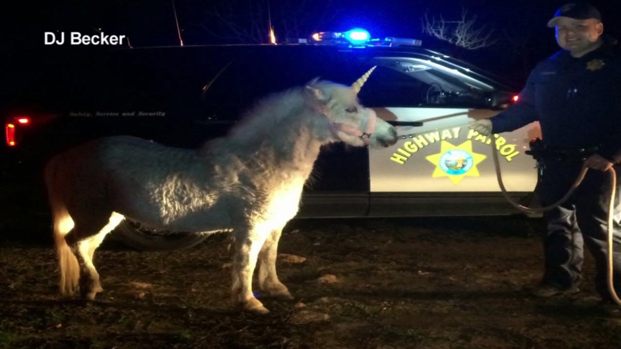 Police detained Juliette the unicorn after a three-hour chase in Madera County, Calif. on Thursday, February 25, 2016.