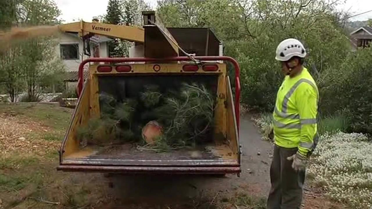 Arborists cut down and trim old trees weakened by the drought in Contra Costa County on Friday, March 4, 2016.KGO-TV