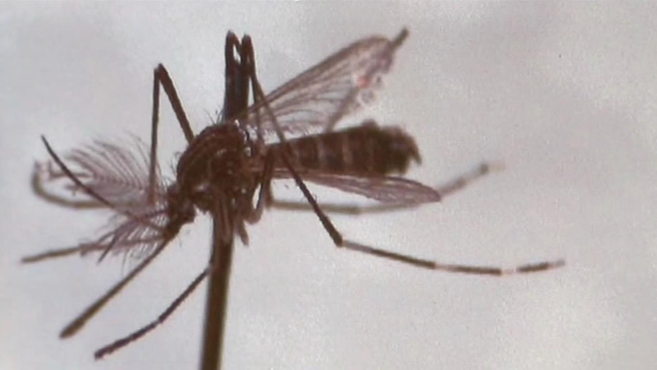 This image shows an Aedes aegypti mosquito.