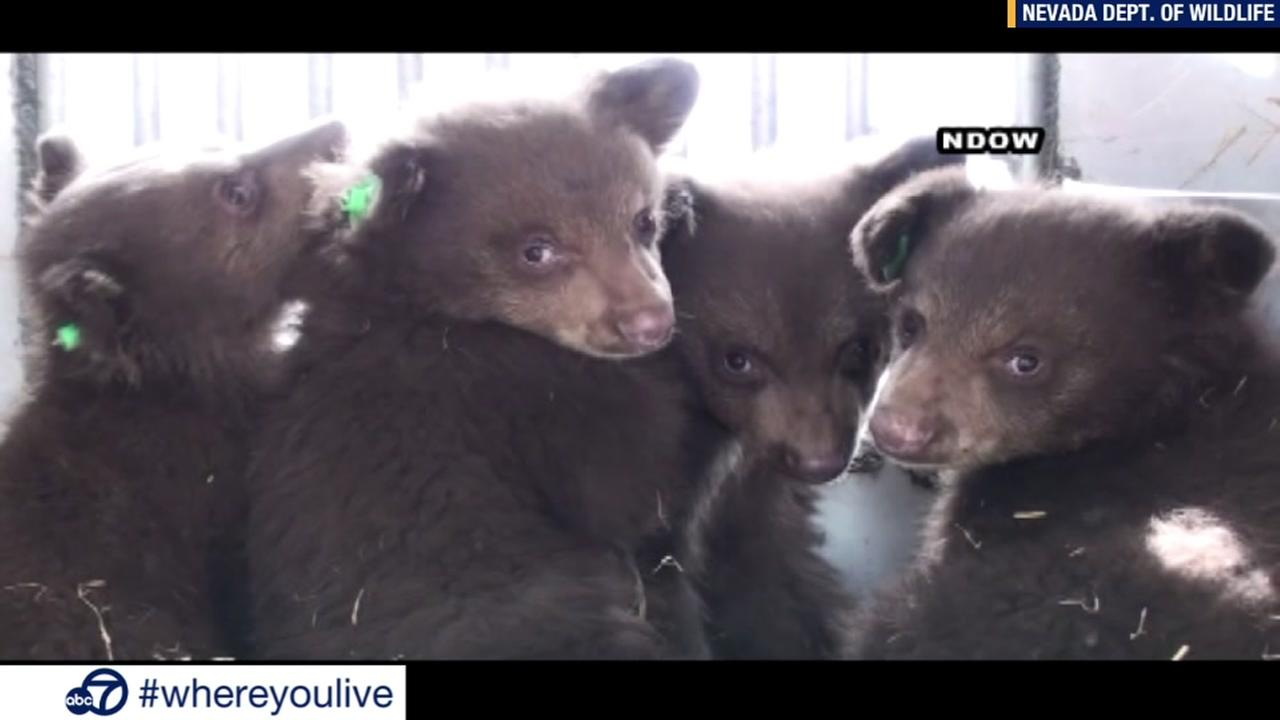 KNOW AND TELL: Orphan baby bears found under walkway