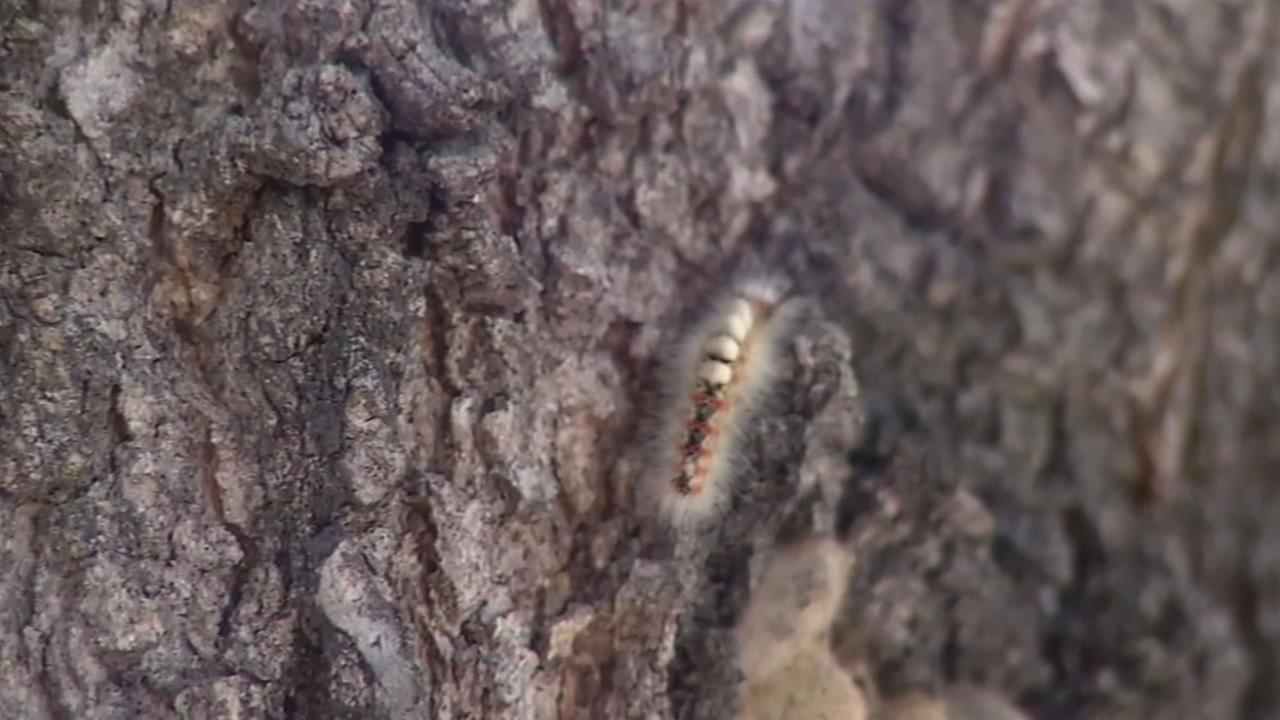 This image shows an oakworm on an oak tree in Menlo Park, Calif. April 20, 2016.