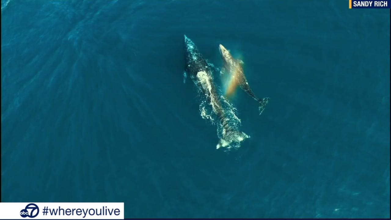 KNOW and TELL: Drone video captures whales, dolphins swimming