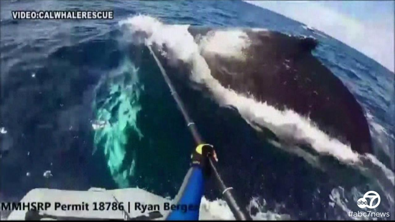 Crews save whale tangled in net off Carmel coast