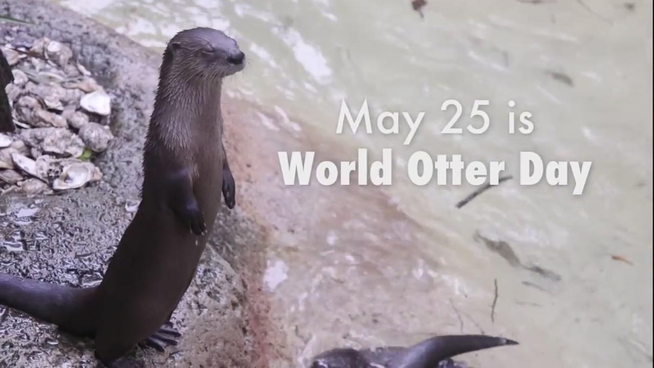 Did you know that May 25 is World Otter Day? Celebrate this special day with the Audubon Nature Institutes video about these adorable creatures.