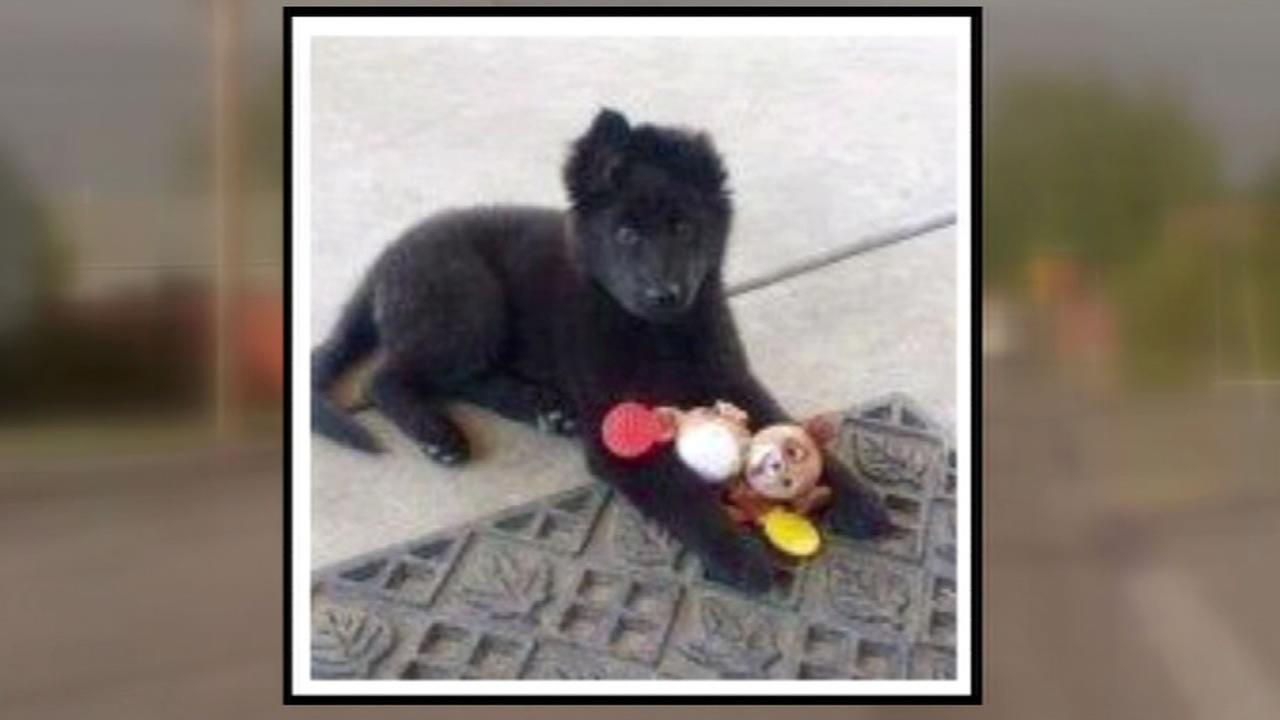This image shows a 3-month-old German shepherd puppy name Maya who was stolen from her teenage owner in San Leandro, Calif. June 10, 2016.