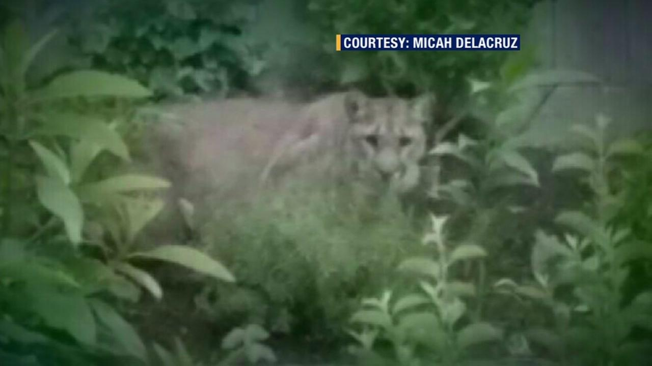 A mountain lion is seen in the backyard of a home in Pacifica, Calif. on Wednesday, June 29, 2016.