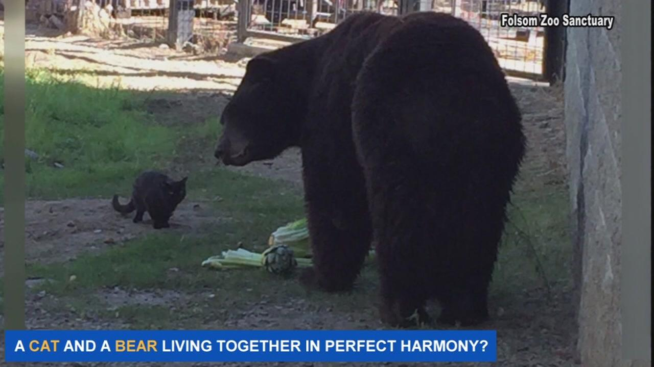 Cat and bear live together in perfect harmony