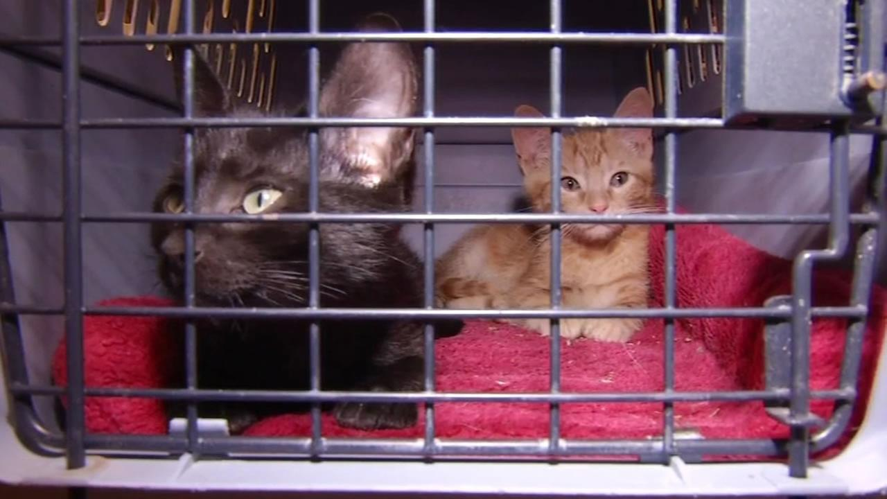 This image shows Walt Whitman and Allen Ginsburg the kittens who stolen and later returned to a Pet Food Express in Lafayette, Calif. on July 5, 2016.