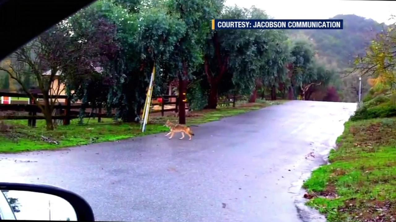This image shows a coyote that was spotted in San Jose, Calif.