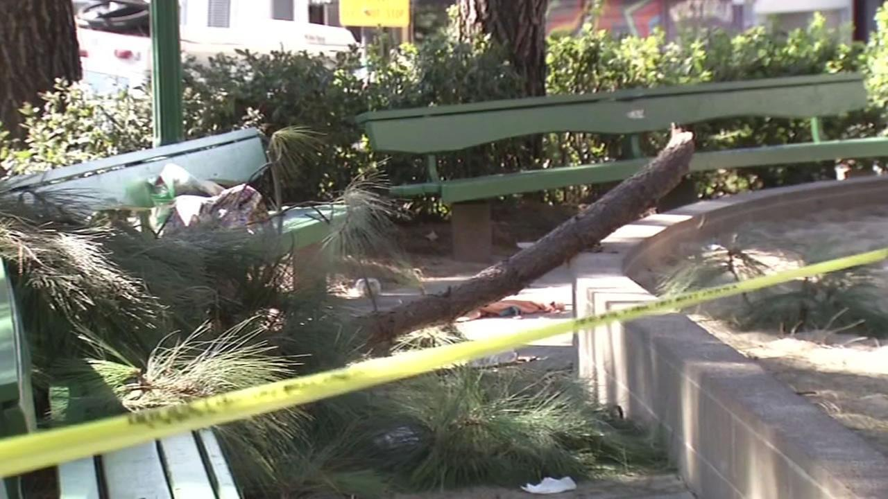 This image shows a tree branch that fell in Washington Square Park in San Francisco and injured a woman on August 12, 2016.