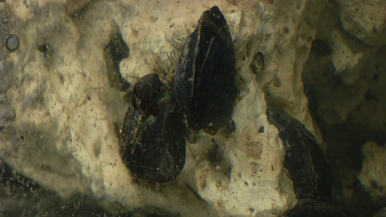 A mussel is seen clinging on a rock in this undated image.