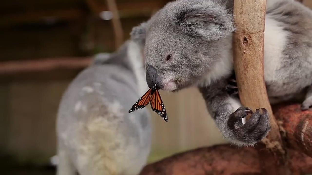 The Symbio Wildlife Park posted video of Willow playing with a butterfly that decided to land right on its nose.