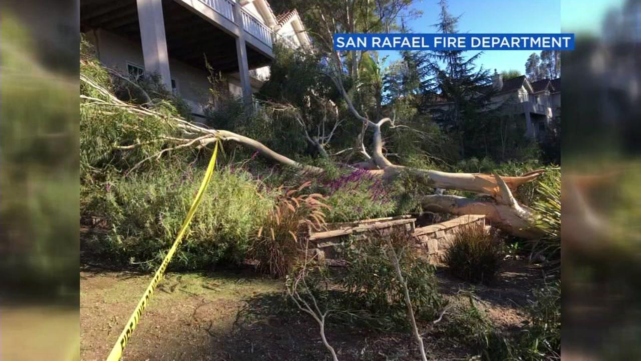 This image shows a eucalyptus tree that fell on top of man in San Rafael, Calif.