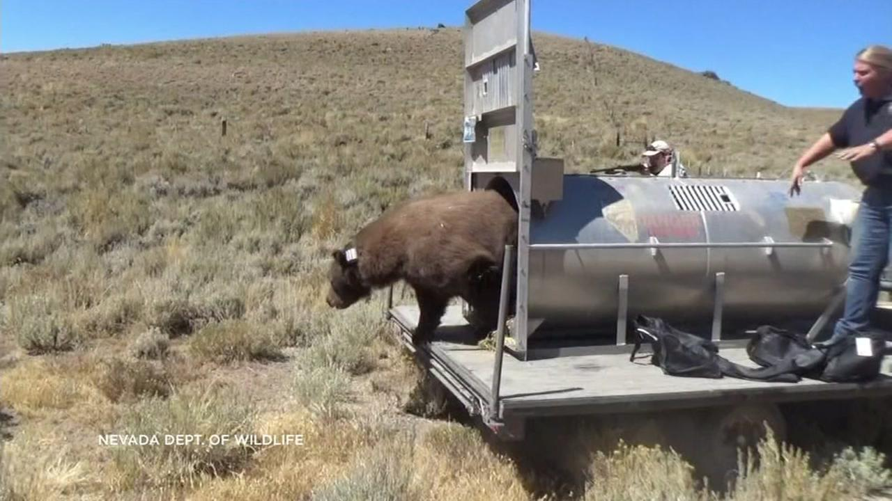 A Nevada wildlife official releases a bear captured near Lake Tahoe into the desert.