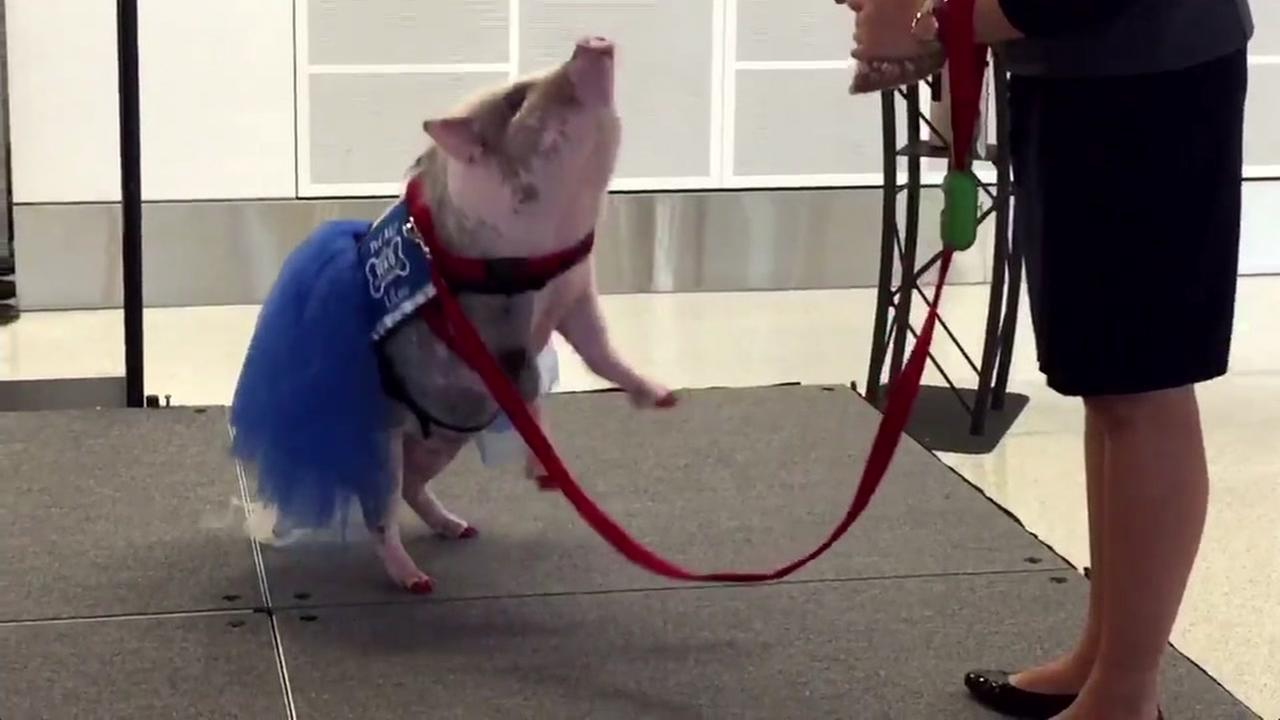 Lilou a therapy pig is seen at San Francisco International Airport on Friday, December 23, 2016.