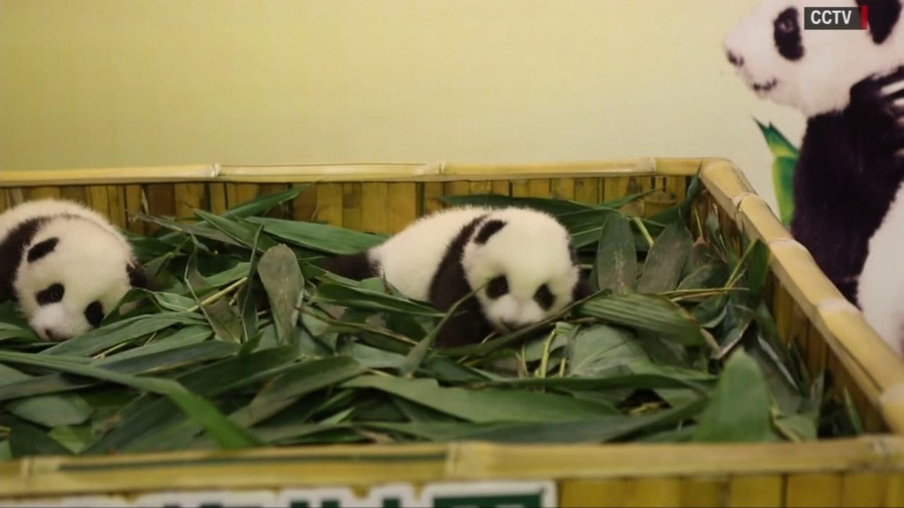 Twin pandas make their public debut at a wildlife park in Guangzhou, China on Dec. 26, 2016.