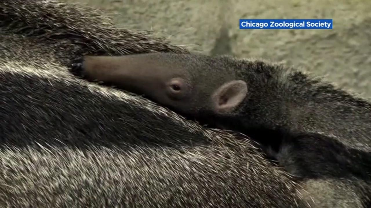 Baby giant anteater makes debut