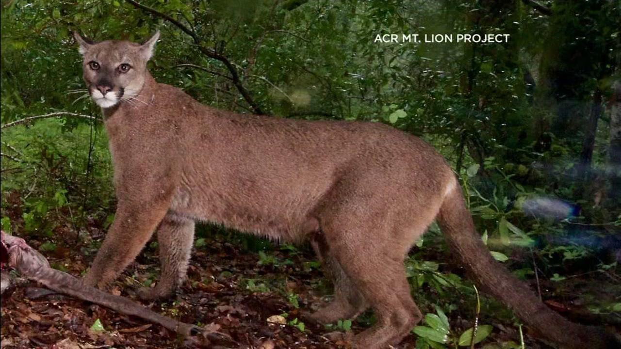 Bay Area Mountain Lions become reluctant celebrities