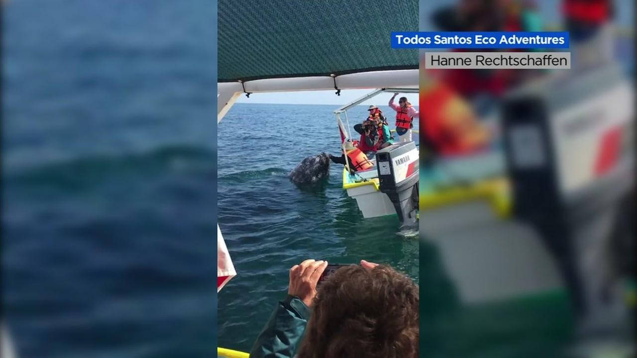 VIDEO: Gray Whale shares kisses with tourist in Magdalena Bay, Mexico