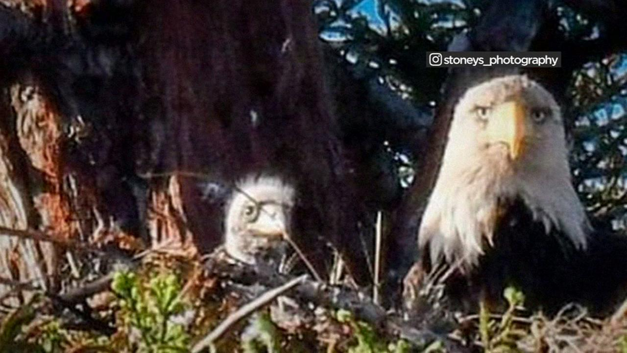 A Bald Eagle and its eaglet are seen in Milpitas, California in this undated image.