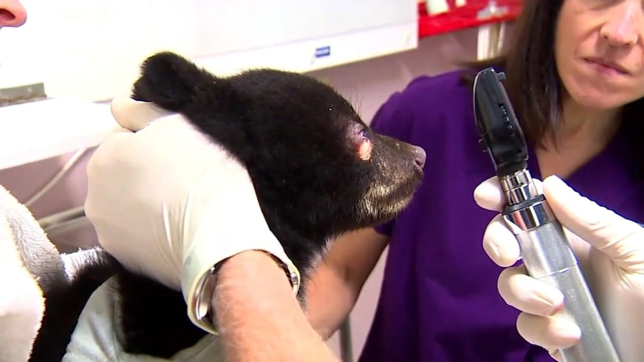 This is an undated image of a bear cub rescued near Portland, Ore.