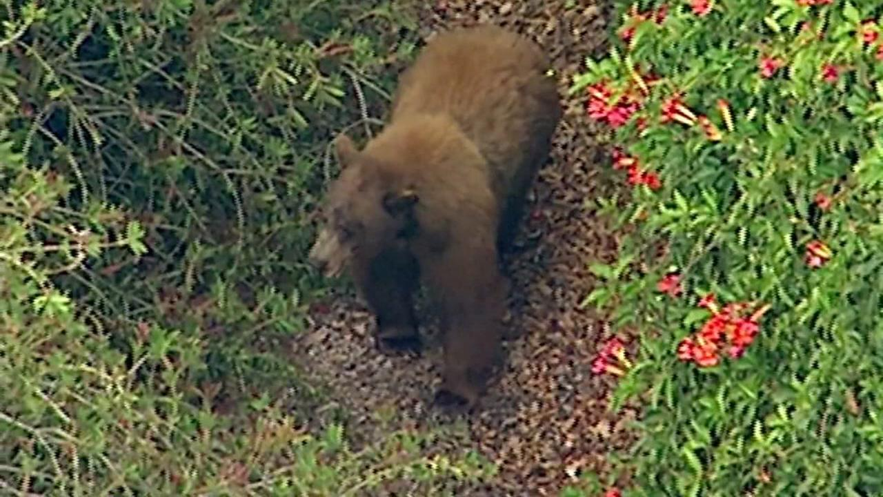 A young bear was hit by a car on the 210 Freeway in La Verne, Calif.