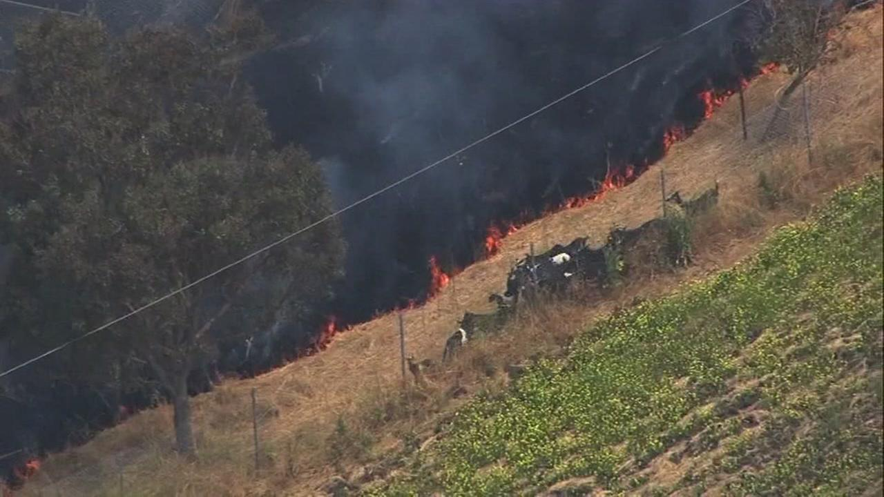 Goats flee a fast-moving grass fire in Milpitas, Calif. on May 25, 2017.