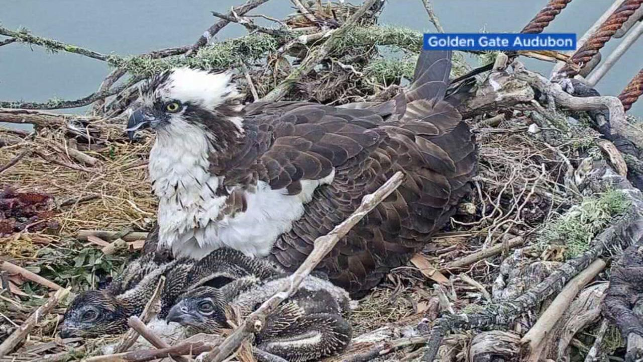 Osprey chicks are seen inside a nest in Richmond, Calf. in this undated image.