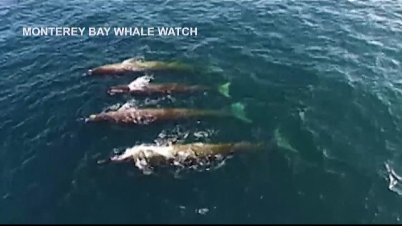 VIDEO:Drone captures rare sighting of Baird Beaked Whales near Carmel