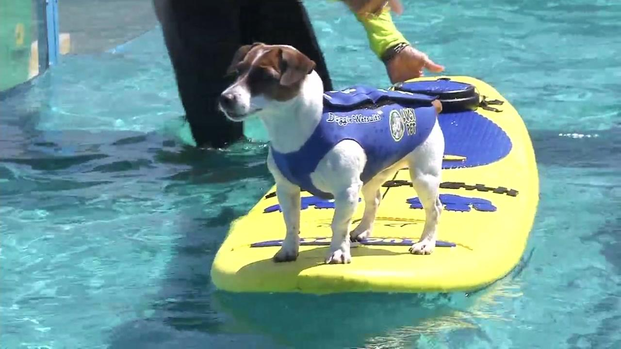 A dog surfs outside of the Oakland Coliseum on Friday, July 14, 2017.