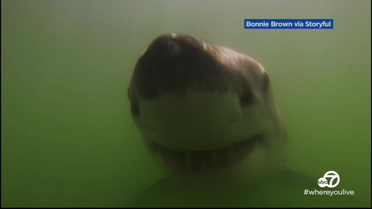 VIDEO: Young sharks swimming close to shore in Santa Cruz