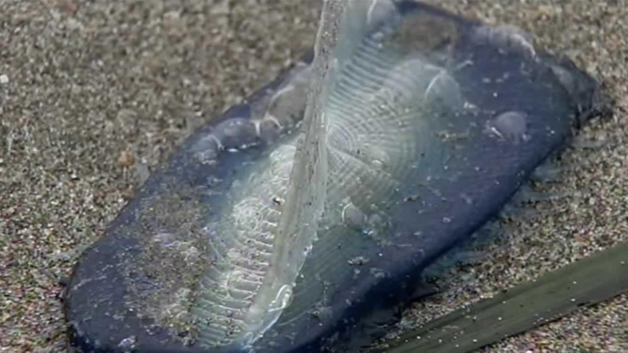 Thousands of jellyfish-like creatures have washed ashore in at least two places along the Bay Area shoreline.