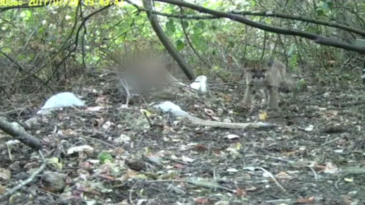 Mountain Lion kittens spotted near San Rafael