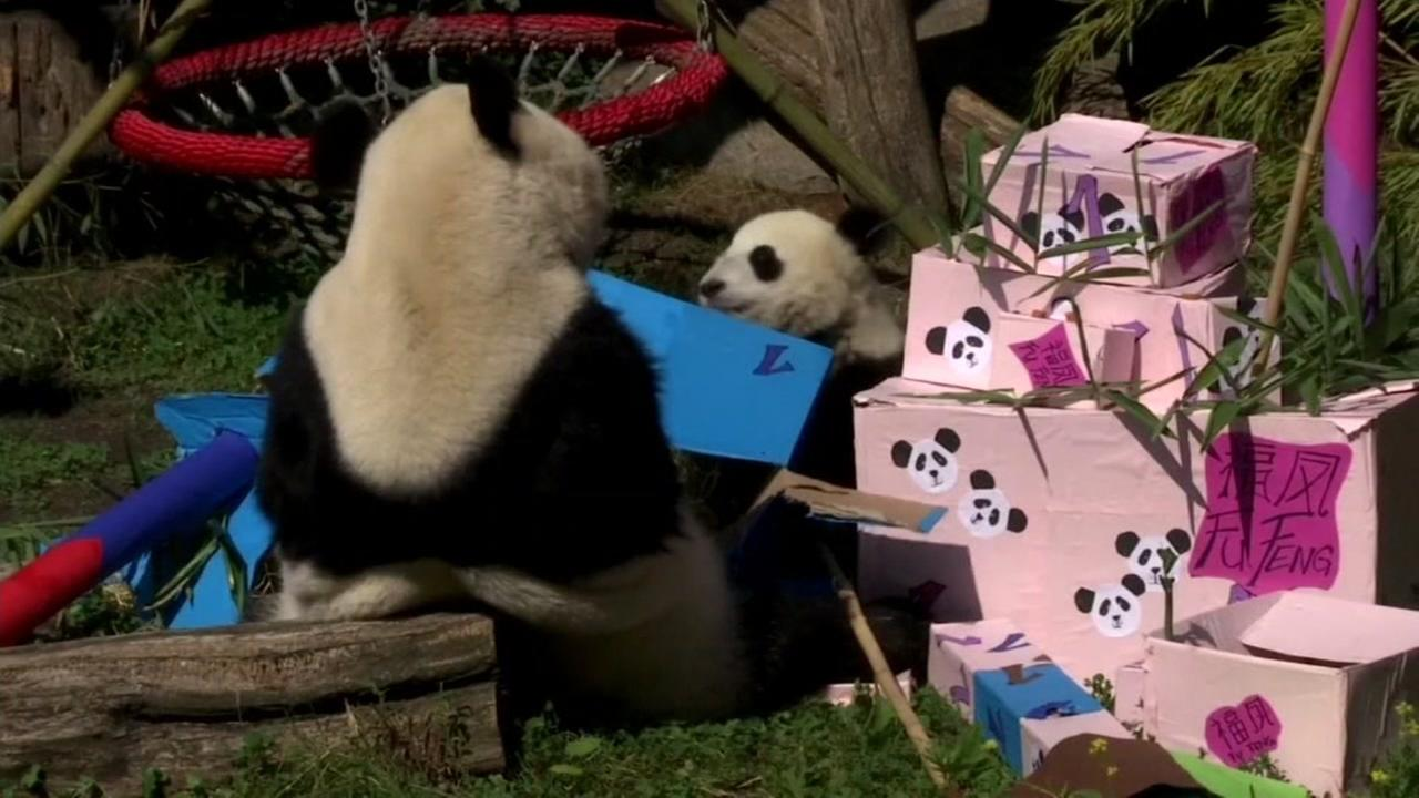 Twin pandas are seen playing with their birthday presents at the Vienna Zoo on Monday, August 7, 2017.