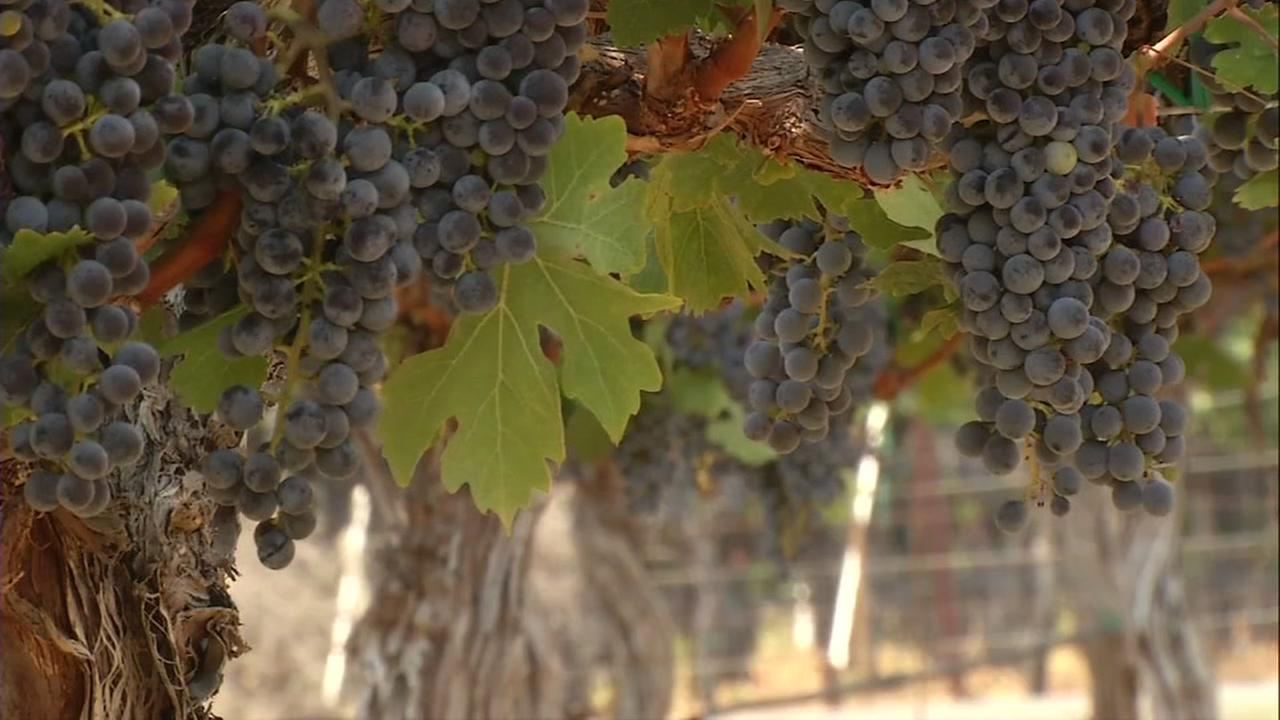 Grapes appear on a vineyard in Livermore, Calif. on a scorching Sept. 1, 2017.