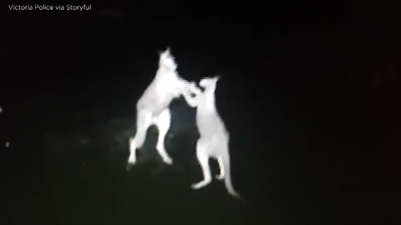 VIDEO: Infrared camera catches kangaroo fight in Australia