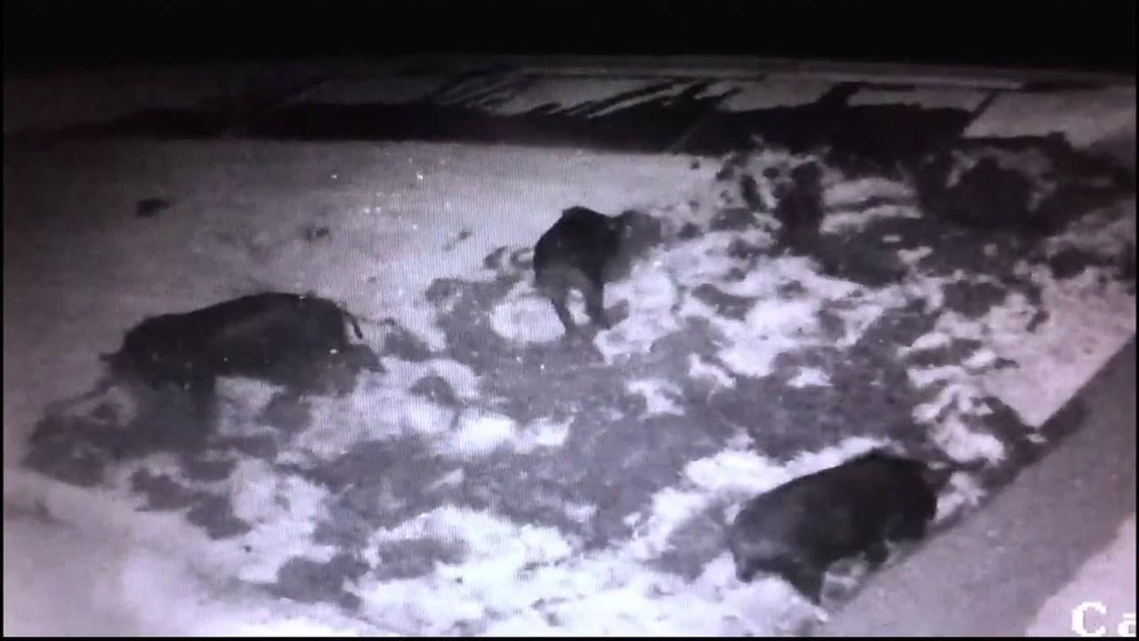 This is an undated image of wild pigs in San Ramon, Calif.