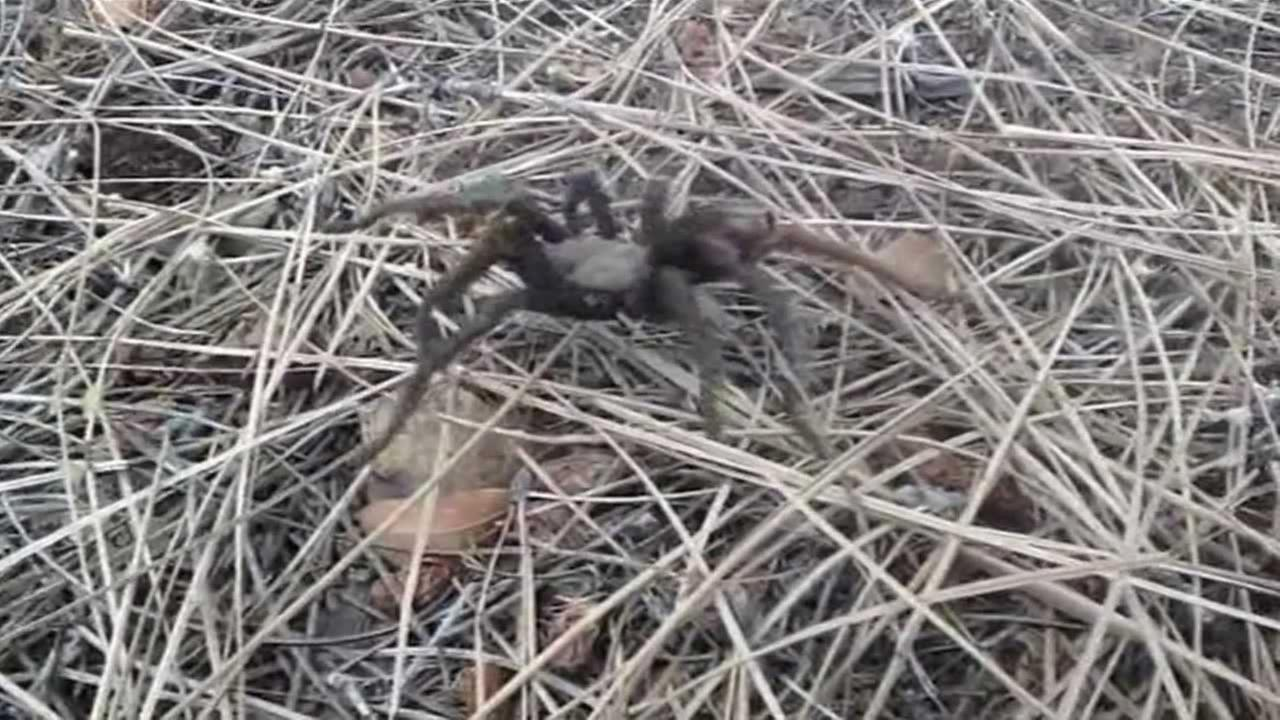 Its tarantula mating season in the Bay Area, and that means hikers need to watch their step because the spiders are out there in numbers.