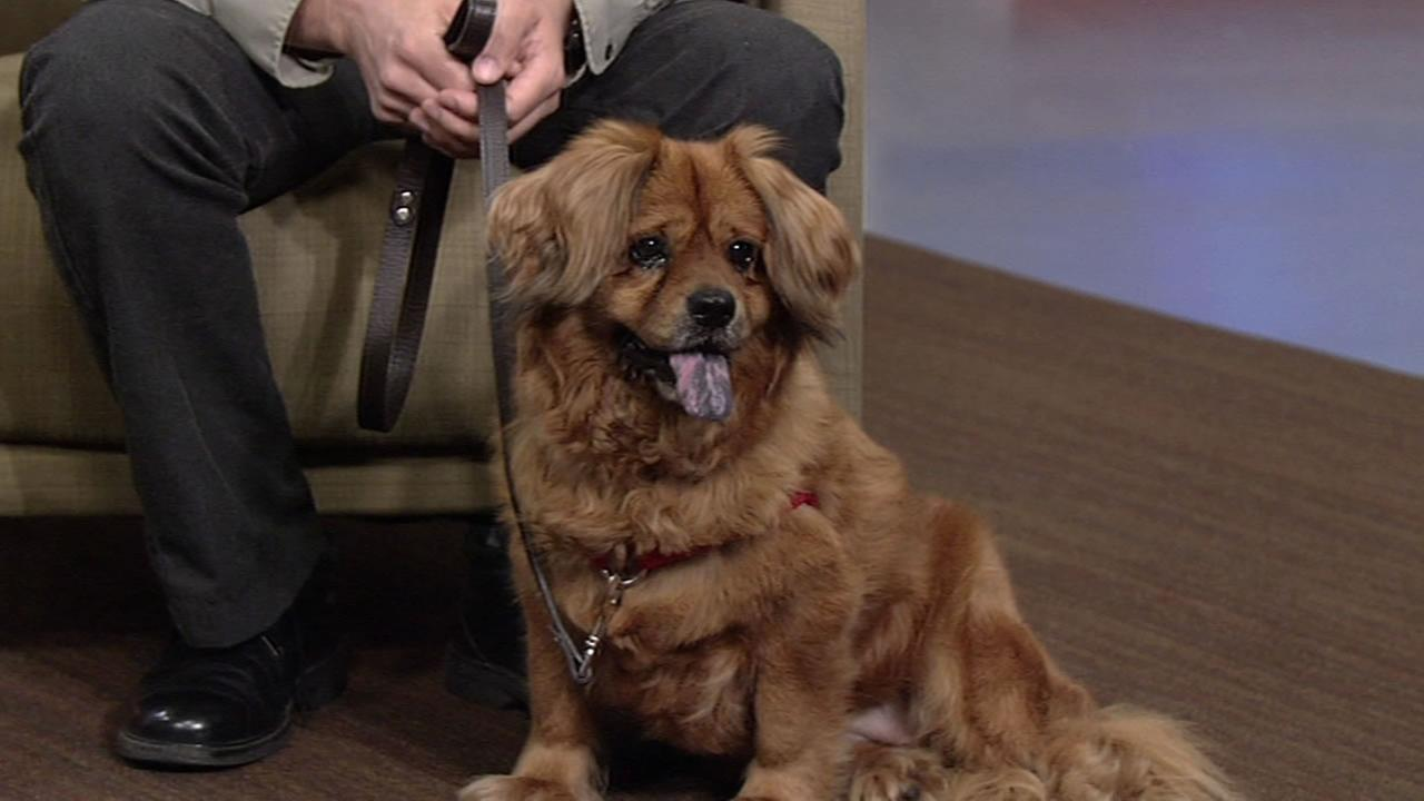 Meet this weeks Perfect Pet Lorena, a Tibetan Spaniel mix up for adoption.