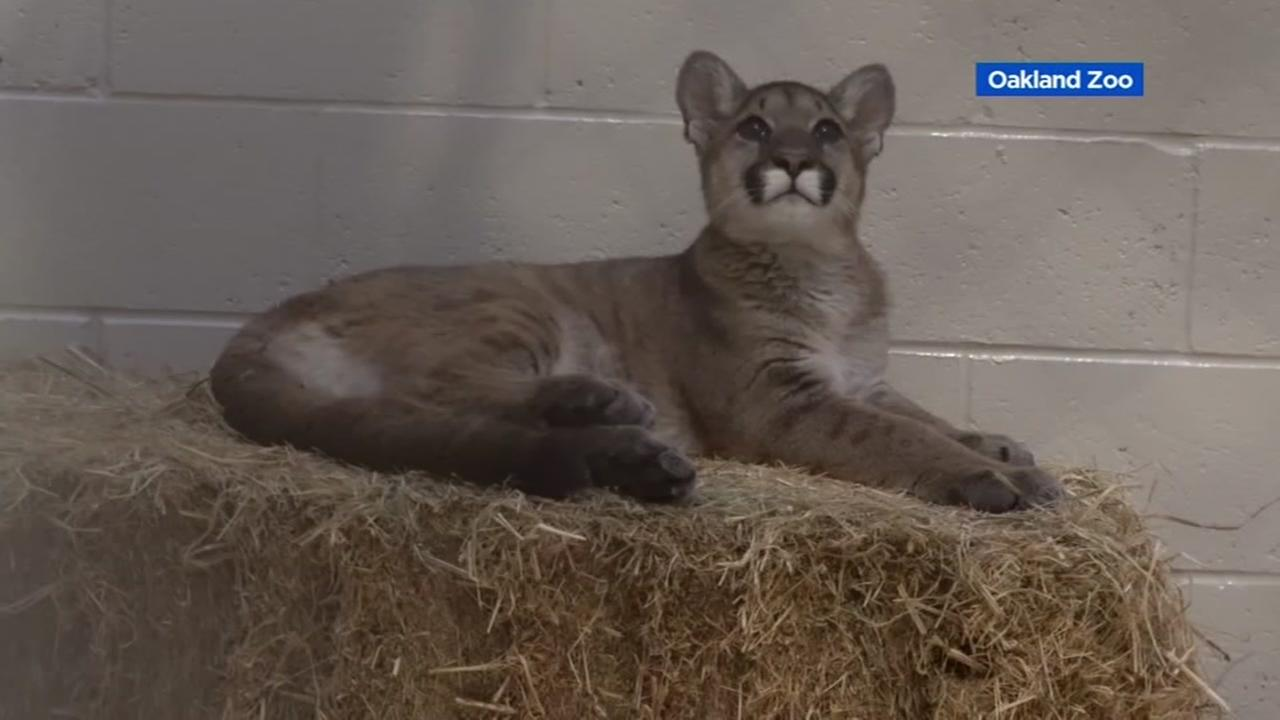 A mountain lion cub appears at the Oakland Zoo on Wednesday, Nov. 13, 2017.