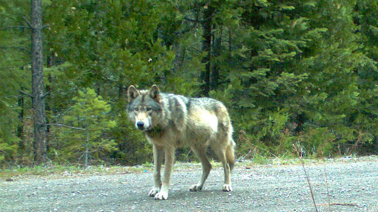 wolf OR-7 in southwest Oregons Cascade Range.