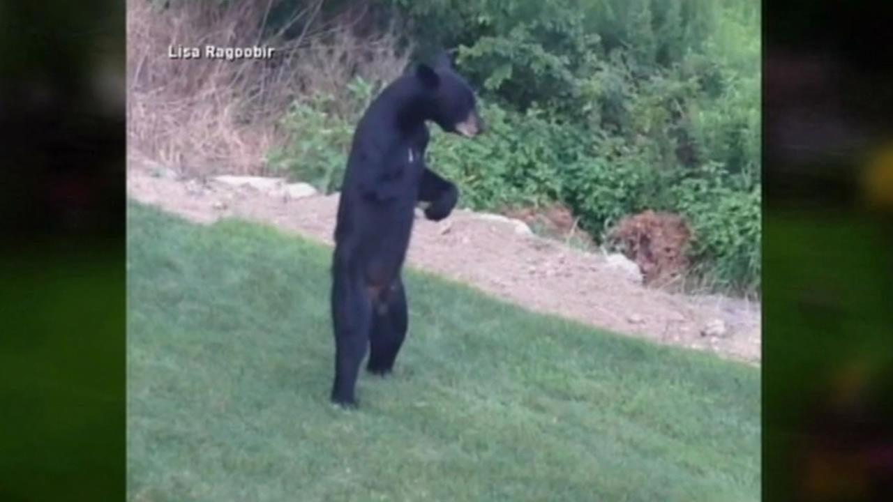 Residents in a suburban New Jersey neighborhood posted a new video to YouTube showing a bear walking around again on just its hind legs in their back yards.