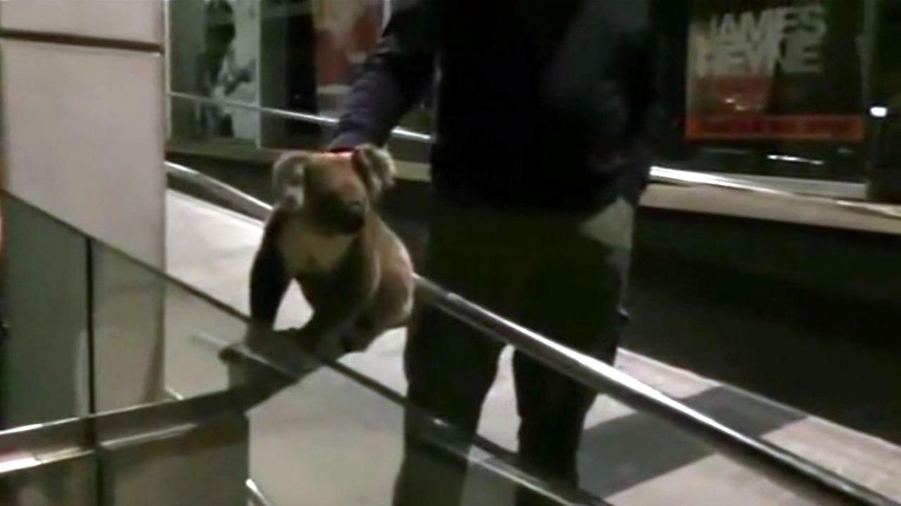 A curious koala keeps stopping traffic in a busy city in Australia.