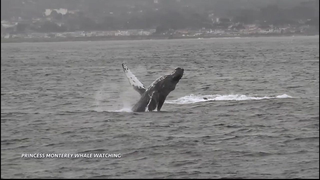 VIDEO: Double whale breach in Monterey