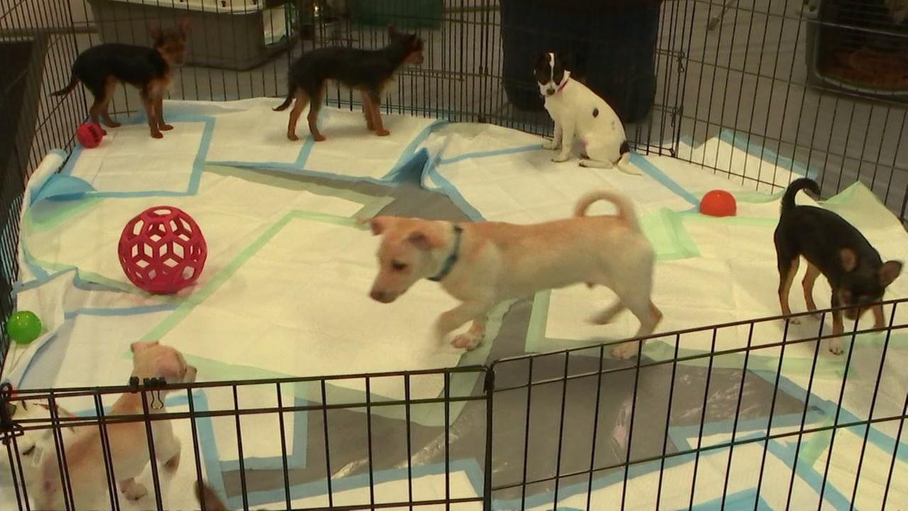 Puppies at adoption event at ABC7 in San Francisco on Friday, March 23, 2018.