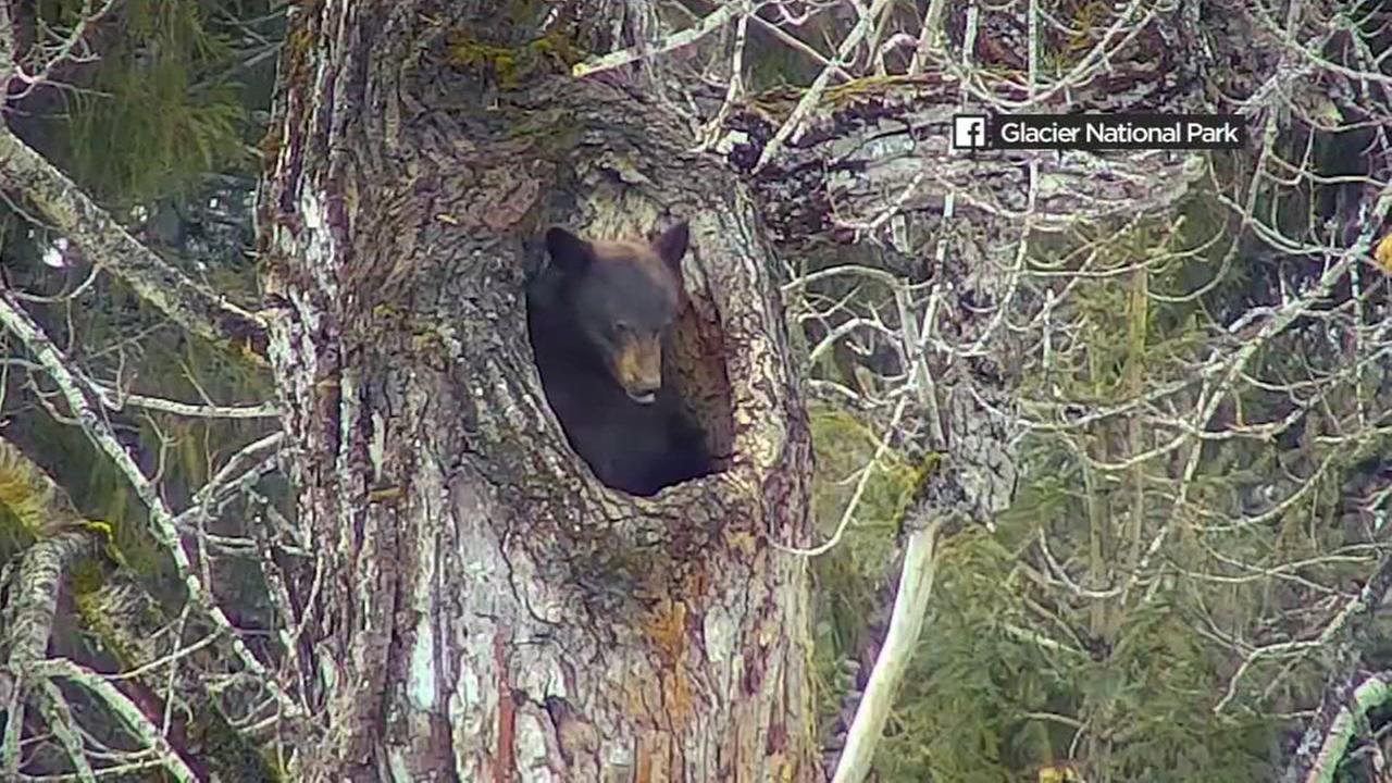 A bear is seen emerging from hibernation in Glacier National Park in Montana in this undated image.