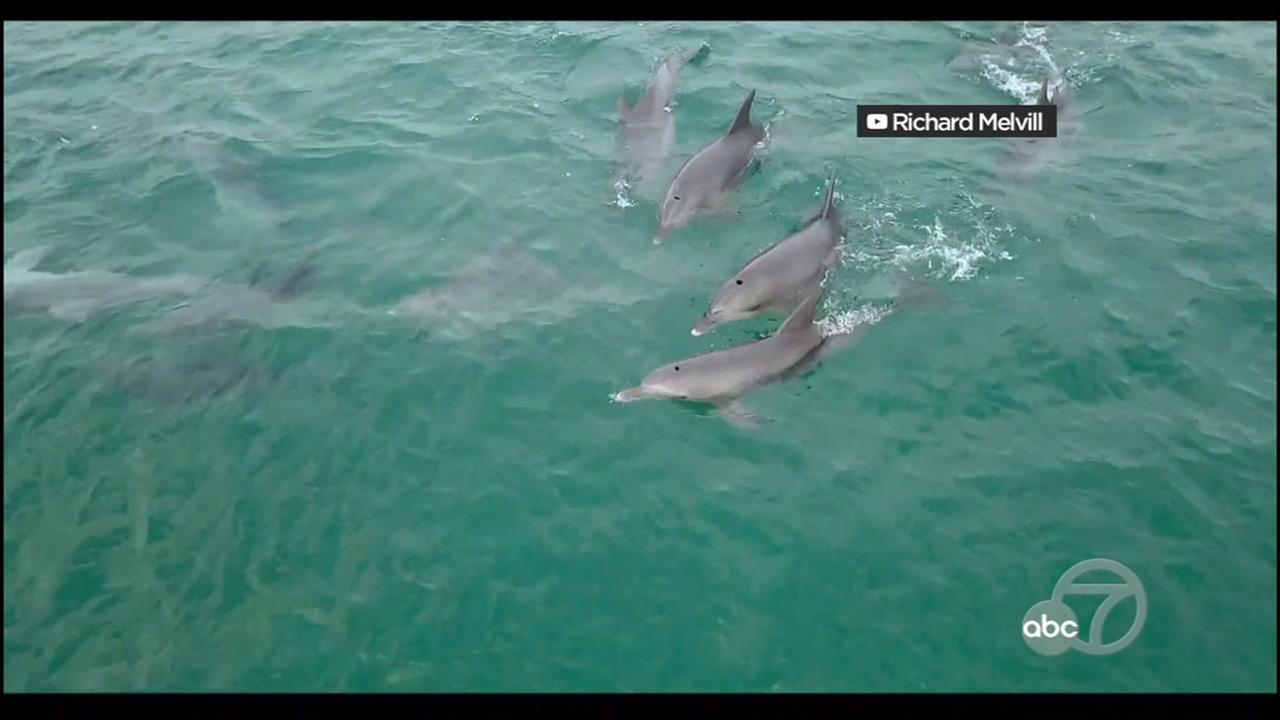 Drone video shows a pod of dolphins riding the waves in South Africa.