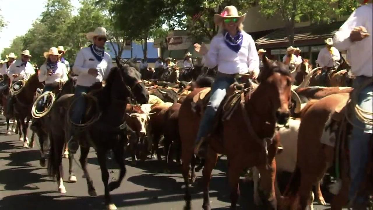 Cattle are herded through the streets of Pleasanton, Calif. on Friday, June 15, 2018.