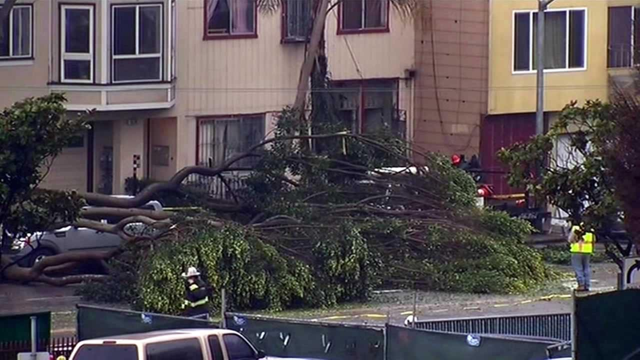 A little bit of rain toppled several ficus trees in San Francisco Thursday.