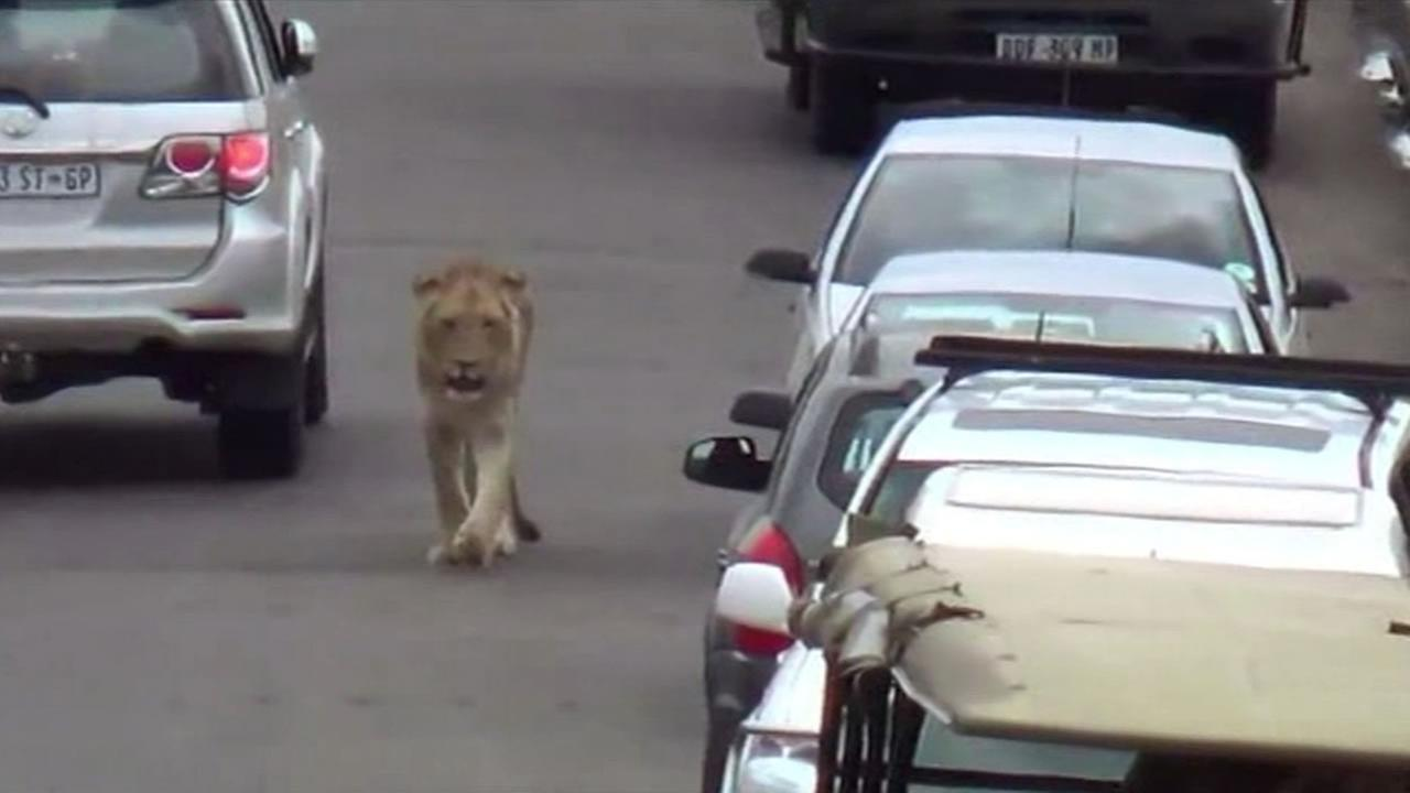A lion stopped traffic in South Africa.